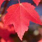 Maple Tree Family