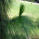 Pine Tree Family