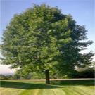 Ash Tree Family