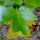 Poplar Tree Family