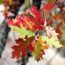 Red Oak Tree Family