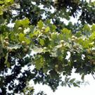 White Oak Tree Family
