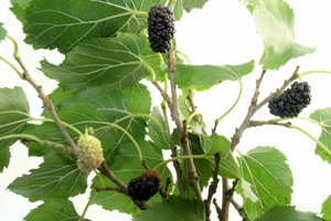 Black Beauty Mulberry Tree