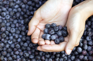 Delite Blueberry Plant