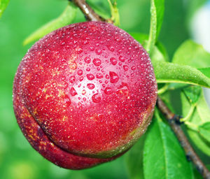 Ruby Grand Nectarine Tree