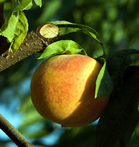 June Gold Peach Tree
