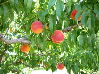 Tropi-Berta Peach Tree