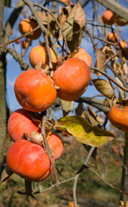 Giant Fuyu Persimmon Tree