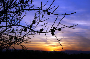 Garden Prince Almond Tree