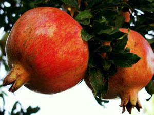 Grenada Pomegranate Tree