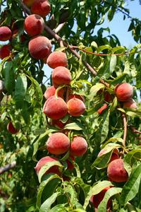 FlordaPrince Peach Tree