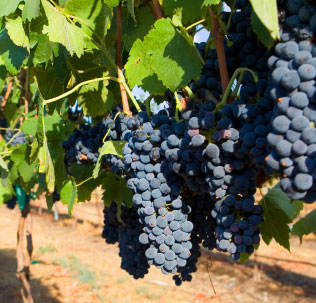 Niabell Bunch Grape Vine