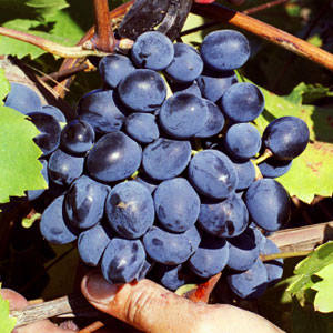 Fredonia Bunch Grape Vine