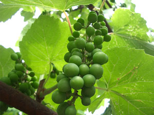 Perlette Bunch Grape Vine