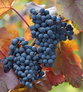 Cabernet Sauvignon Wine Grape Vine