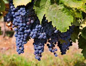 Merlot Wine Grape Vine