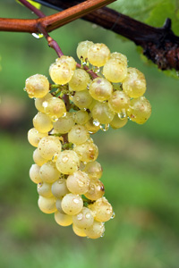 Chardonnay Wine Grape Vine