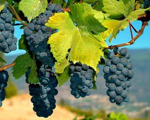 Zinfandel Wine Grape Vine