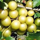 Bronze Magnolia Scuppernong