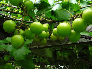 Bronze Dixie Sweet Scuppernong
