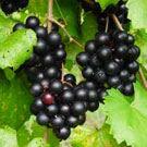 Black Jumbo Muscadine