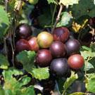 Black Cowart Muscadine