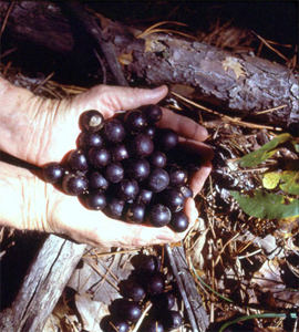 Black Southland Muscadine