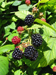 Cherokee Blackberry Plant