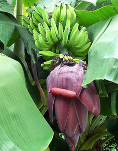 Raja Puri Banana Plant