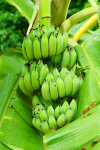 Golden African Banana Plant