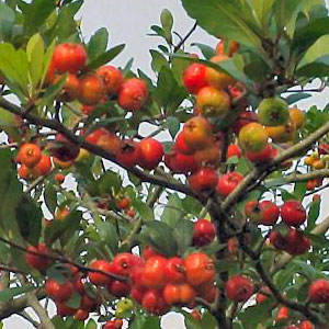 Mason's Superberry Mayhaw Tree