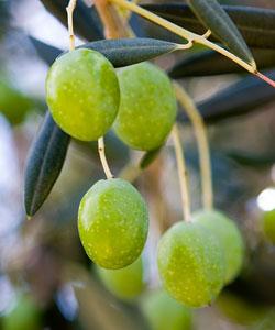 Picholine Olive Tree