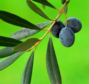 Frantoio Olive Tree