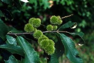 Georgia Native Chinquapin Tree