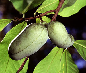 Collins Select Pawpaw Tree