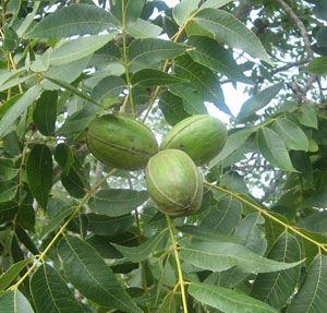 Moreland Pecan Tree