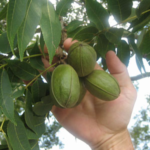Desirable Pecan Tree