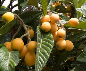 Gold Nugget Loquat Tree