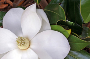 Magnolia Grandiflora 'Coco'