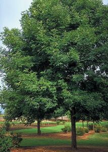 Pop Ash Tree
