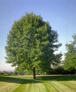 White Ash Tree