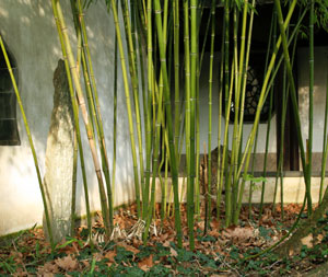 Moso Bamboo Plant