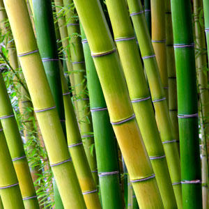 running bamboo plants clumping bamboo plants willis orchards
