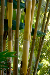 Golden Bamboo Plant