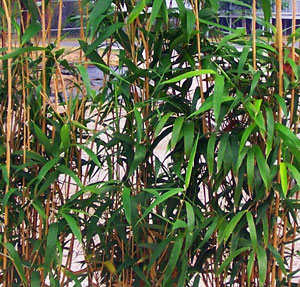 American Native Bamboo Plant