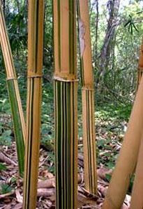 Alphonse Karr Bamboo Plant