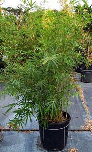 Golden Goddess Bamboo Plant