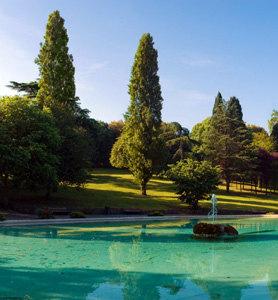 Italian Cypress Tree