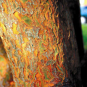Drake Elm Tree