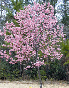 Image result for kwanzan cherry blossom